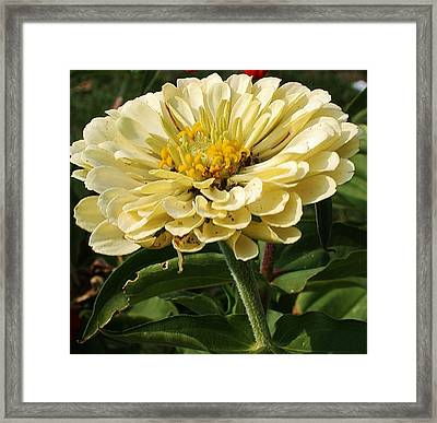 White Zinnia Framed Print by Bruce Bley