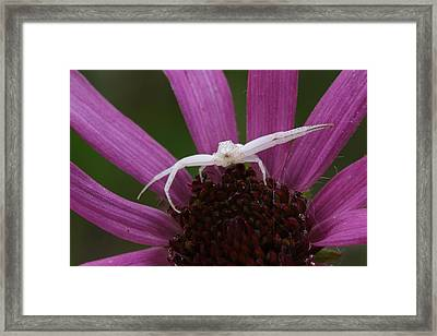 Whitebanded Crab Spider On Tennessee Coneflower Framed Print by Daniel Reed