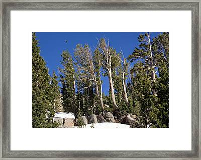 Whitebark Pine (pinus Albicaulis) Framed Print