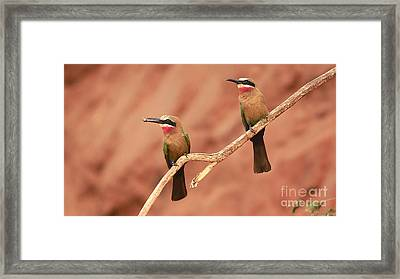 Whitefronted Bee-eaters Framed Print