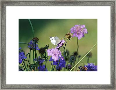 Whites Butterfly Framed Print by David Murray