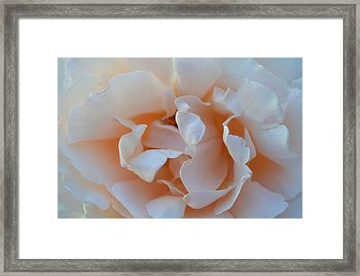 Whitest Rose Framed Print by Naomi Berhane