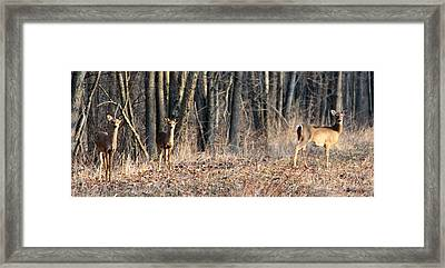 Framed Print featuring the photograph Whitetail Alert by Mark J Seefeldt