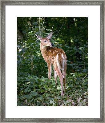 Whitetail Deer Fawn Framed Print