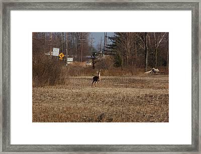 Whitetail Deer Framed Print