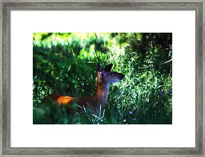 Whitetail Doe 1 Framed Print