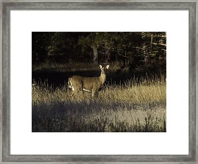 Whitetail Doe Framed Print