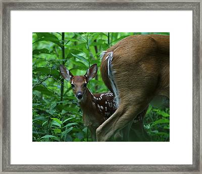 Whitetail Fawn Framed Print