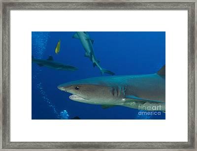 Whitetip Reef Shark, Papua New Guinea Framed Print by Steve Jones