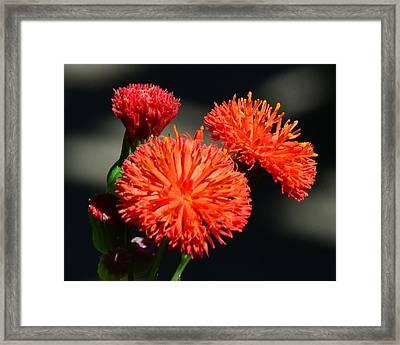 Who Flower Framed Print by Mark Bowmer