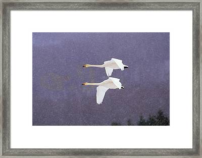 Whooper Swans Flying In Falling Snow Framed Print by Natural Selection Anita Weiner