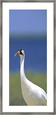 Whooping Crane Framed Print by Patrick M Lynch