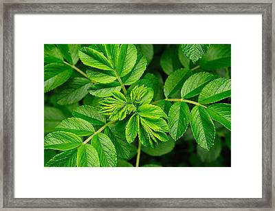 Whorled Branches With Developing Leaves Framed Print by Darlyne A. Murawski