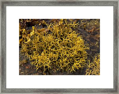Wig-wrack Seaweed Framed Print by Bob Gibbons