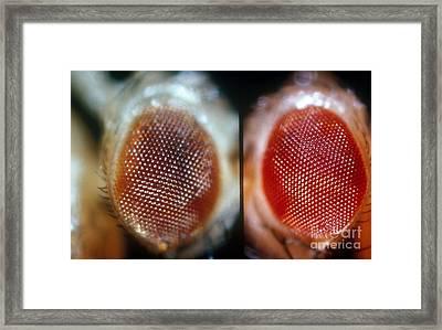 Wild & Brown Eyed Drosophila Framed Print by Science Source