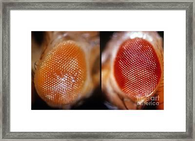 Wild & White-eosin Eyes In Drosophila Framed Print by Science Source
