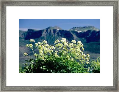 Wild Angelica Framed Print by James Steinberg and Photo Researchers
