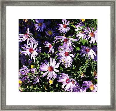 Wild Asters Framed Print by Bruce Bley