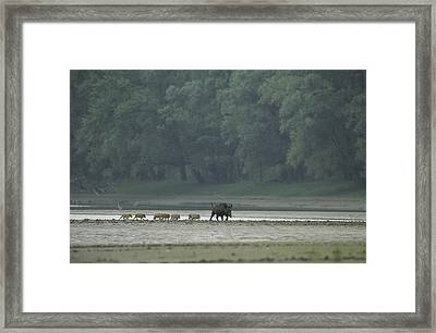 Wild Boar And Her Piglets Running Framed Print by Klaus Nigge
