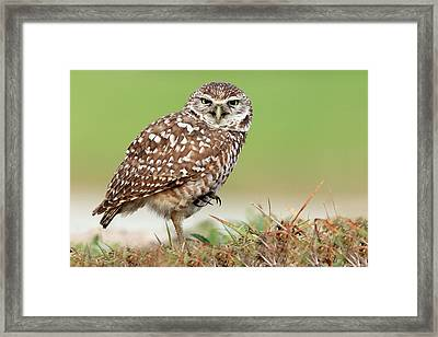 Wild Burrowing Owl Balancing On One Leg Framed Print by Mlorenzphotography