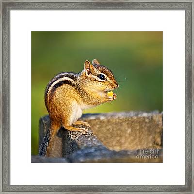 Wild Chipmunk  Framed Print