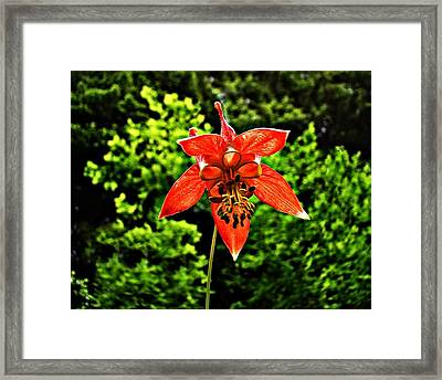 Framed Print featuring the photograph Wild Columbine Singlet by Nick Kloepping