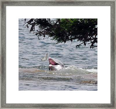 Wild Dolphin Feeding Framed Print by Paul Ward