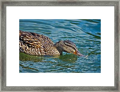 Wild Duck Framed Print by Susan Leggett