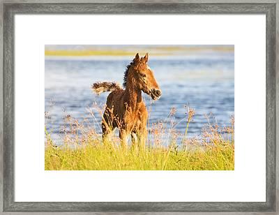 Wild Foal Framed Print