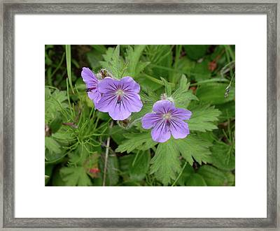 Wild Geraniums Framed Print