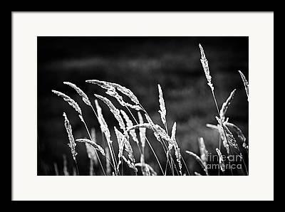 Tall Grass Framed Prints