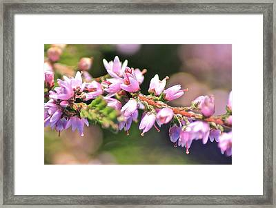 Wild Heather Framed Print by Karen Grist