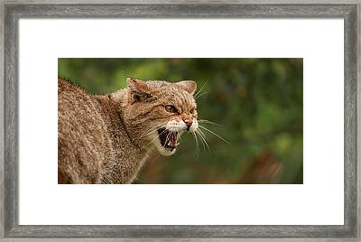 Wild Highland Cat Framed Print by Jacqui Collett