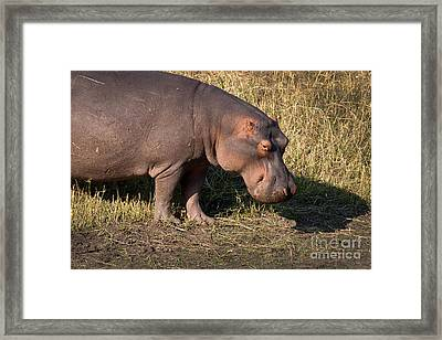 Framed Print featuring the photograph Wild Hippopotamus by Karen Lee Ensley