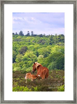 Wild Horse Mare And Foal Framed Print