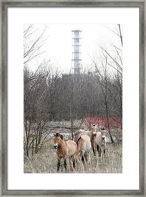 Wild Horses Near Chernobyl Framed Print by Ria Novosti