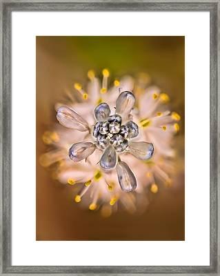 Wild Hyacinth Framed Print by Robert Charity