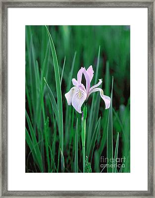 Framed Print featuring the photograph Wild Iris by Doug Herr