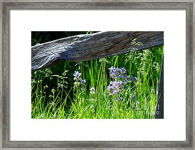 Wild Lupin Framed Print by Sean McGuire