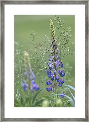 Wild Lupine Flower Framed Print