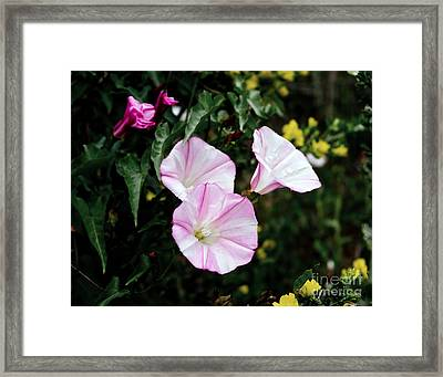 Wild Morning Glories Framed Print by Laura Iverson