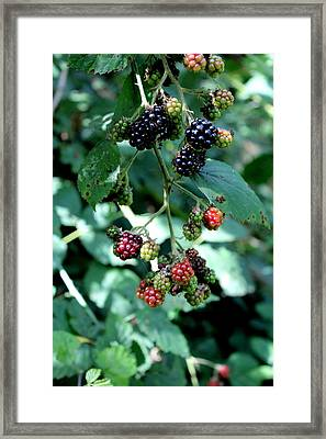 Wild Oregon Blackberries Framed Print