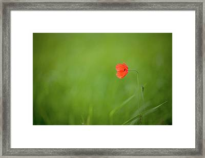 Wild Poppy Framed Print by Peter Chadwick LRPS