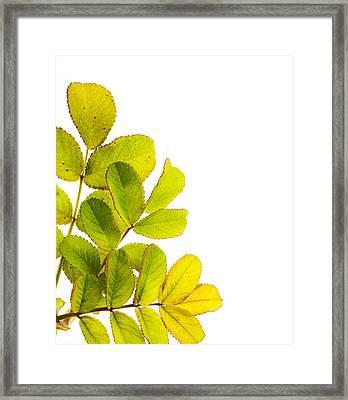 Wild Rose Leaves Macro Postcard Framed Print