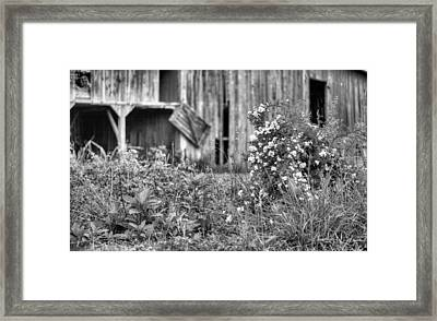 Wild Roses Bw Framed Print by JC Findley