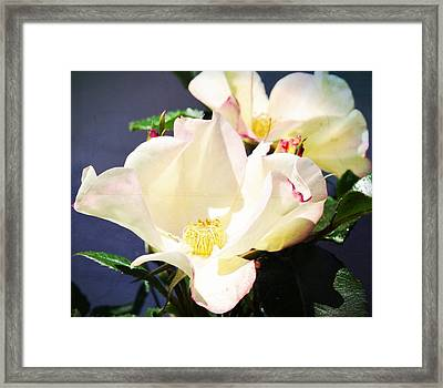 Wild Roses Framed Print by Cathie Tyler