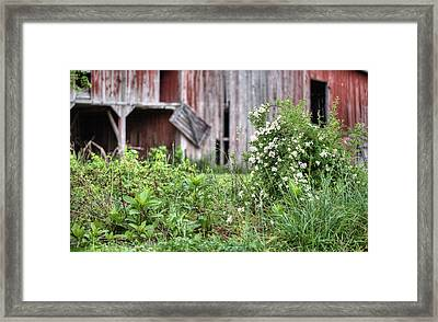 Wild Roses Framed Print by JC Findley