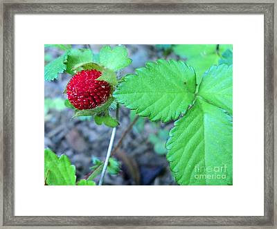 Wild Strawberry And Leaves Framed Print