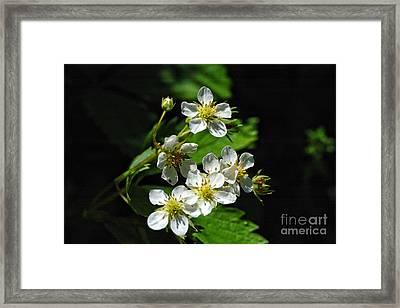 Wild Strawberry Blossoms Framed Print