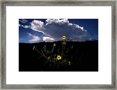 Wild Sunflower With Clouds Framed Print by John Brink